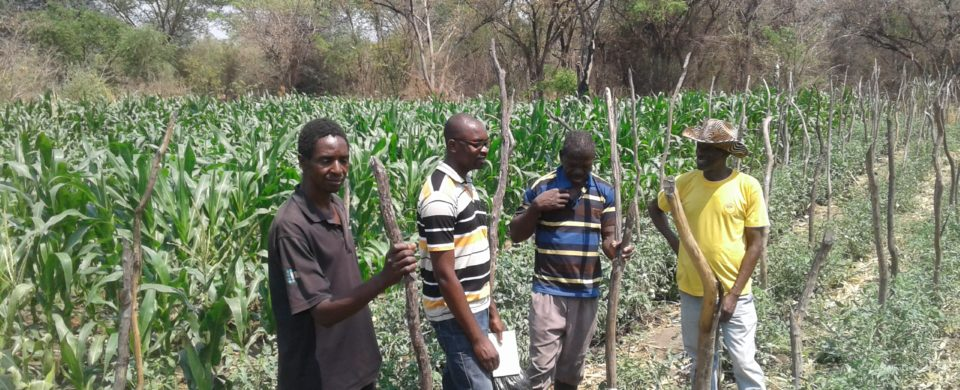 Mr Namitala in his maize field under irrigation